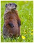 groundhog7