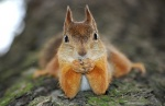 redsquirrel4