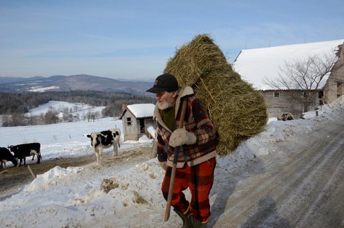 Farmer feeding his cows hay in Waitsfield, Vermont.